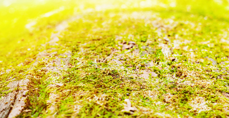 Green moss on the trunk of an old tree. Blurred background Stock Photo