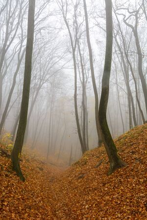 A mysterious and quiet day in the forest with fog. Autumn weather, damp and low temperature. Fairy or horror wallpaper
