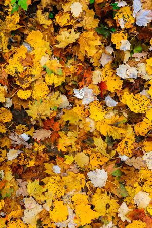 Colorful autumn carpet of leaves. Yellow and white colors
