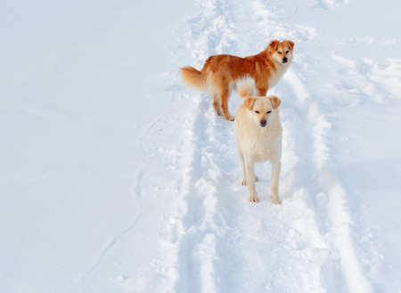 Two ginger dogs on winter road photo