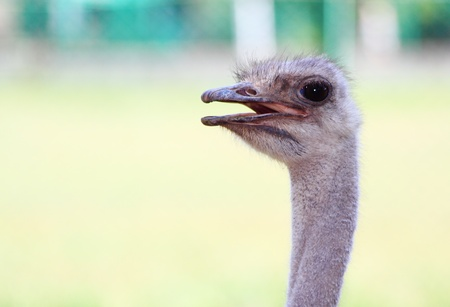 Portrait of ostrich in National reserve of Askania Nove in Ukraine photo