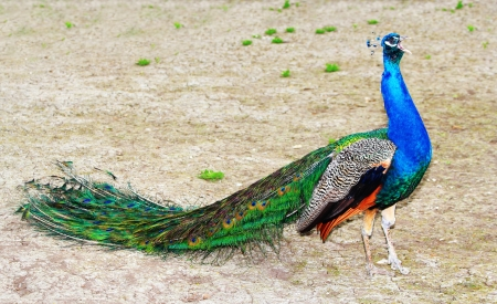 Roaring beautiful male peacock outdoors