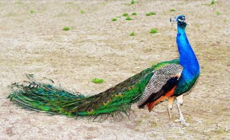 Roaring beautiful male peacock outdoors
