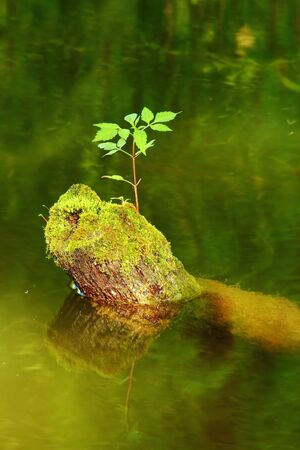 New tree sprout growing from the dead tree covered with moss in the water