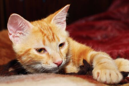 Red little kitten lying on the bed Stock Photo - 14480850