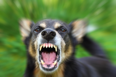 Barking enraged shepherd dog outdoors Stock Photo - 14851074