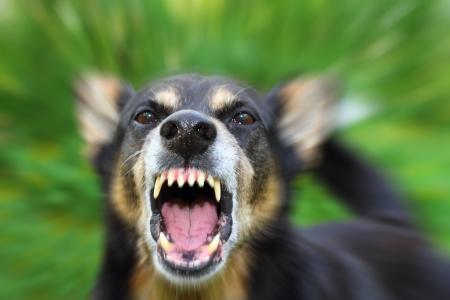 bared teeth: Barking enraged shepherd dog outdoors