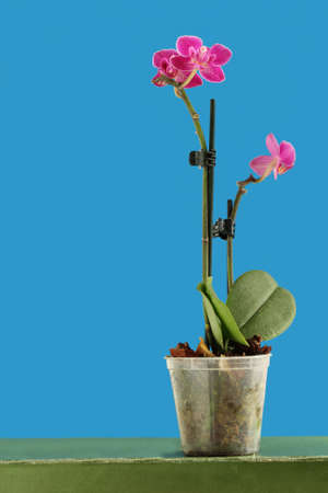 Dwarf purple orchid over blue background photo
