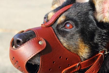 Shepherd dog closeup with a muzzle on Stock Photo