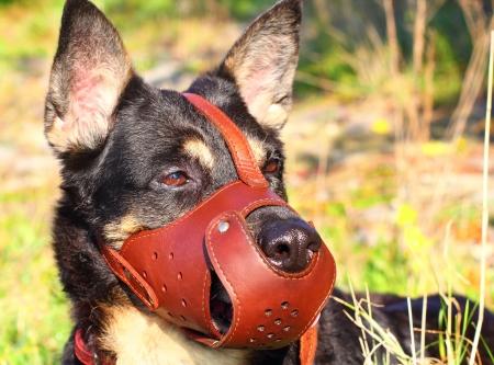 羊飼いの犬のクローズ アップに銃口を 写真素材