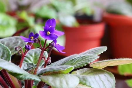 Violet saintpaulia on natural background photo