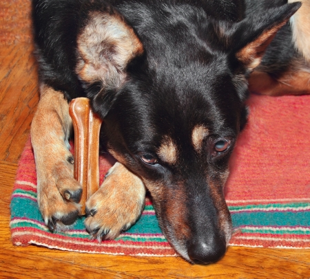 Sheep dog holding a bone in her forelegs Stock Photo - 18619673