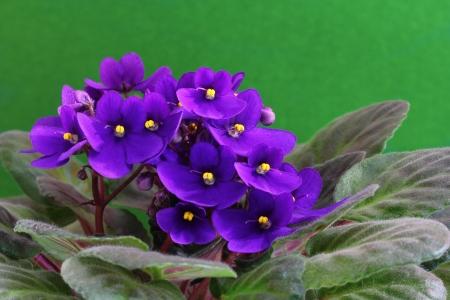 Violet saintpaulia flower over green background photo