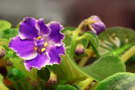 Violet saintpaulia closeup over natural background  photo