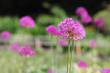 Purple onion blossons in the garden photo