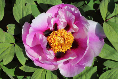 Pink peony flower with stamen outdoors photo