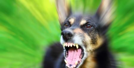 緑背景をぼかした写真を屋外激怒のシェパード犬を吠える
