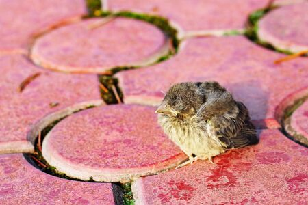 Passering nestling fallen out of the nest sitting on red pavement photo