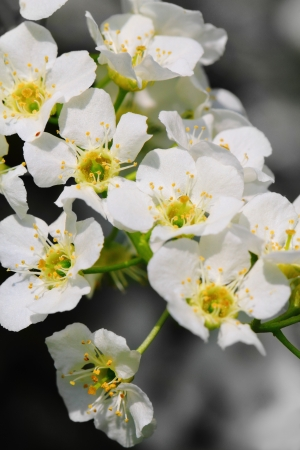 Bird cherry tree in blossom over natural background photo