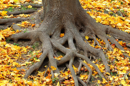 A root system of a huge tree covered with fallen yellow autumnal leaves