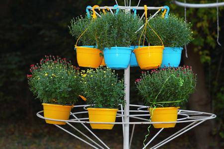 Chrisanthemum flowers for sale in ornamental flower pots photo