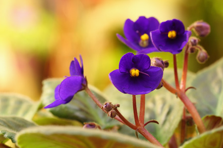 Closeup of violet paintpaulia flowers over natural background photo
