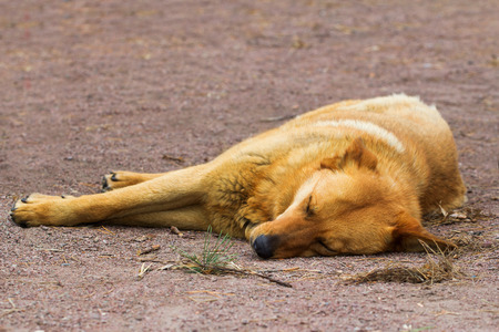 deadly: Deadly tired sleeping red mongrel dog on the ground Stock Photo