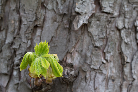 graft: A graft of a chestnut tree on the bark
