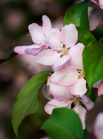 early blossoms: Pink apple blossoms on the branch in early May Stock Photo