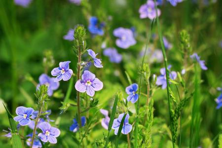speedwell: Veronica chamaedrys flower (germander speedwell, birds-eye speedwell)