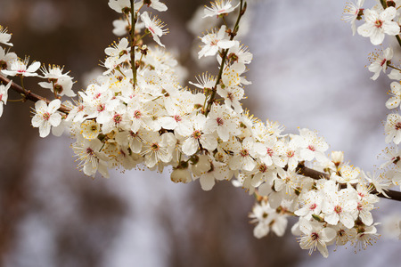 early blossoms: White cherry blossoms in early may