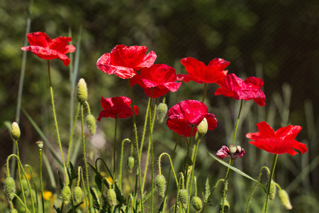 narcotism: A group of blossoming poppy flowers