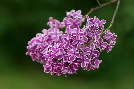 edging: Interesting kind of Purple Syringa (Lilac) with white edging