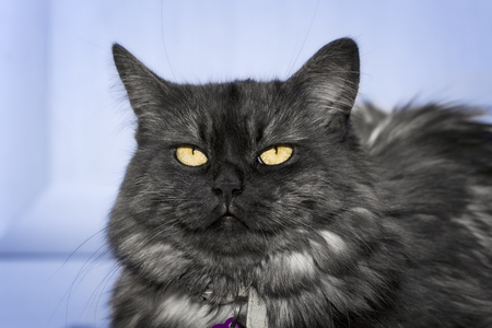 despondent: Gray turkish angora cat looking annoyed by his owner