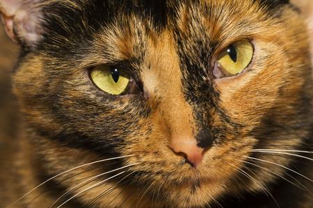 tortoiseshell: Tortoiseshell cat closeup portrait
