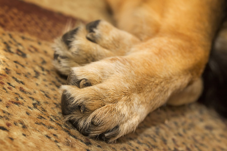 カーペットの上に横たわる羊飼いの犬の足のクローズ アップ 写真素材