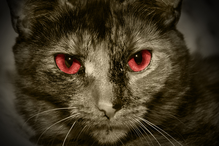 red eyed: Closeup portrait of a red eyed evil cat