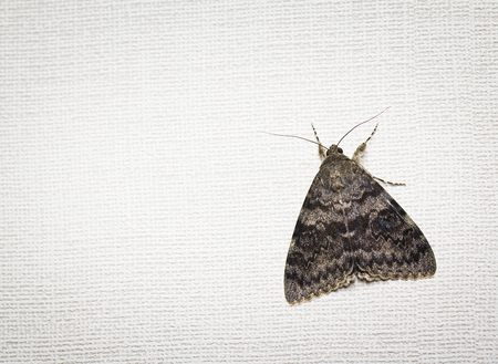 underwing: Rosy underwing, Catocala electa, a European Moth