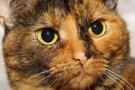 gaze: Tortoiseshell cat watching at something with her evil gaze Stock Photo