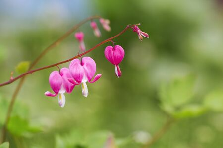 hemorragias: Pink dicentra - Sangrado Corazón Flores