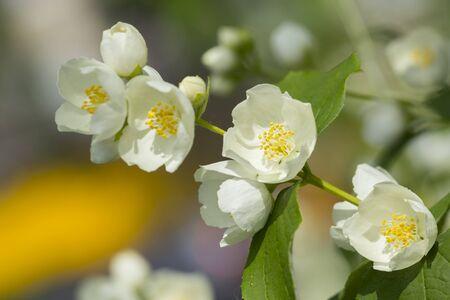 Mock orange tree flower blossoms in summer Stock Photo