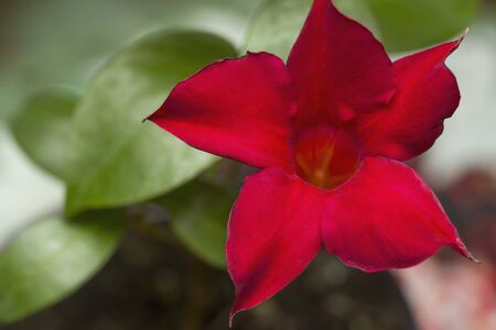 dipladenia: Flowering bright red Mandevilla rose Dipladenia