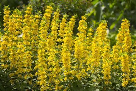 Whorled Loosestrife - Lysimachia verticillaris Escaped garden plant Stock Photo