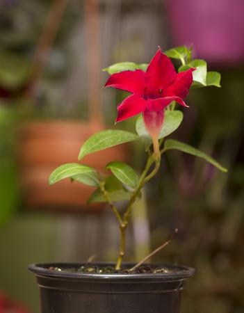dipladenia: Fioritura brillante Mandevilla rosa rossa Dipladenia