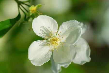 philadelphus: Mock orange tree flower blossoms in summer Stock Photo