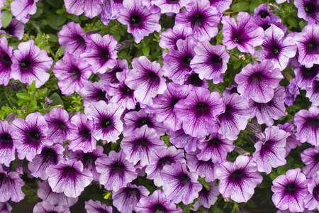 A bachground of pink petunia flowers