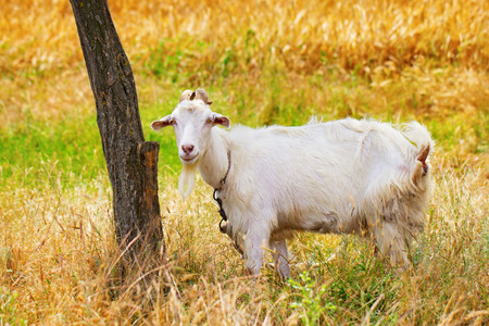 tether: Portrait of a young animal goat standing on green summer pasture