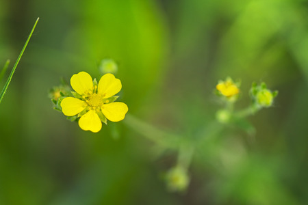 plants species: Potentilla is a genus containing species of annual, biennial and perennial herbaceous flowering plants in the rose family, Rosaceae.