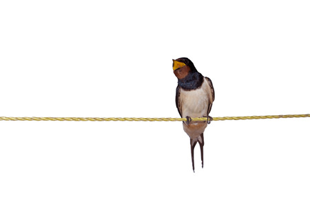barn swallow: Barn swallow or European swallow (Hirundo rustica) sitting on the rope and making noise Stock Photo