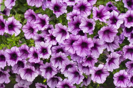 petunia wild: A bachground of pink petunia flowers